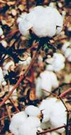 COTONE BIOLOGICO